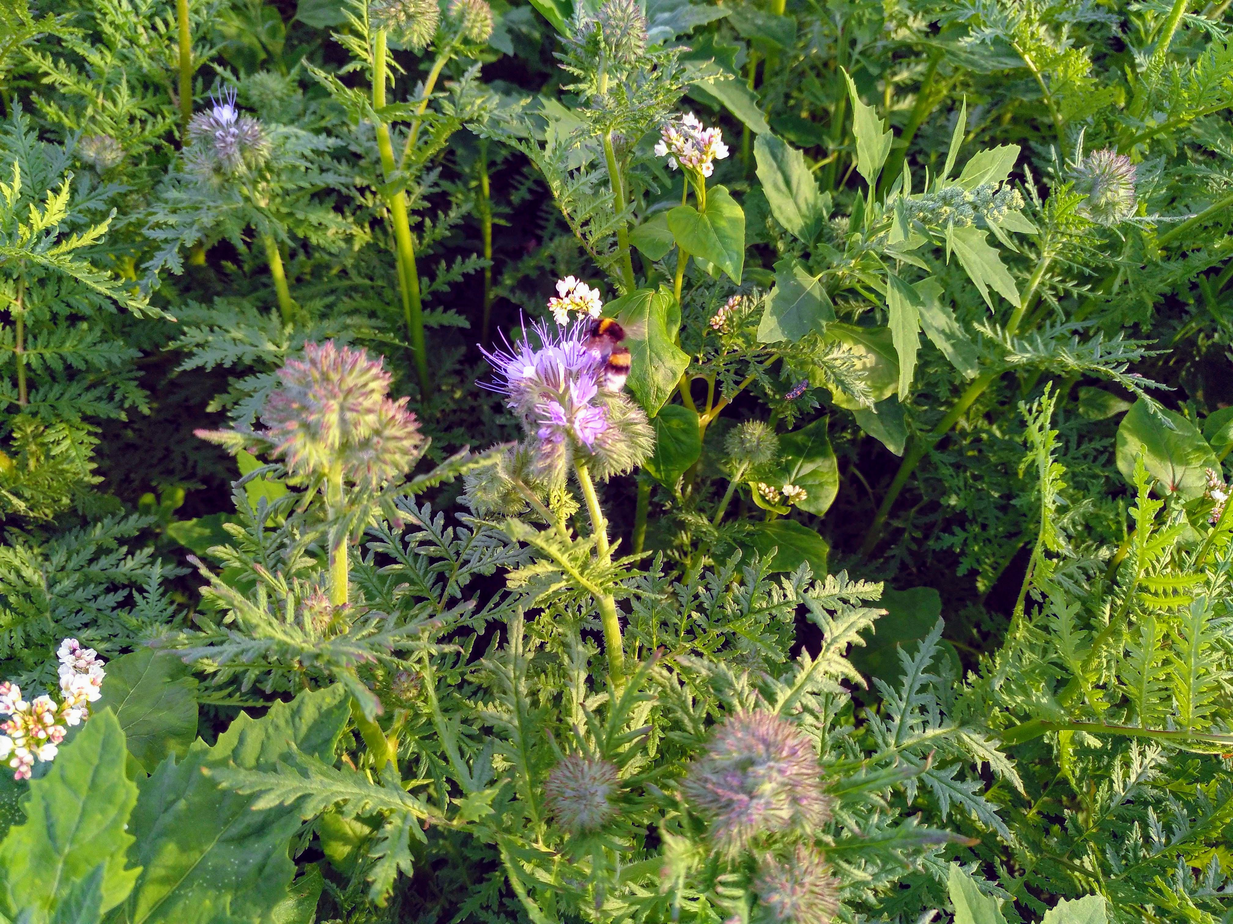"""Büschelblume (phacelia) mit Hummel - fotografiert am 14.06.2019   auf der einjährigen Fläche  """"Brache mit Honigpflanzen"""" (L. Stroethmann)   des BienenBuffet"""
