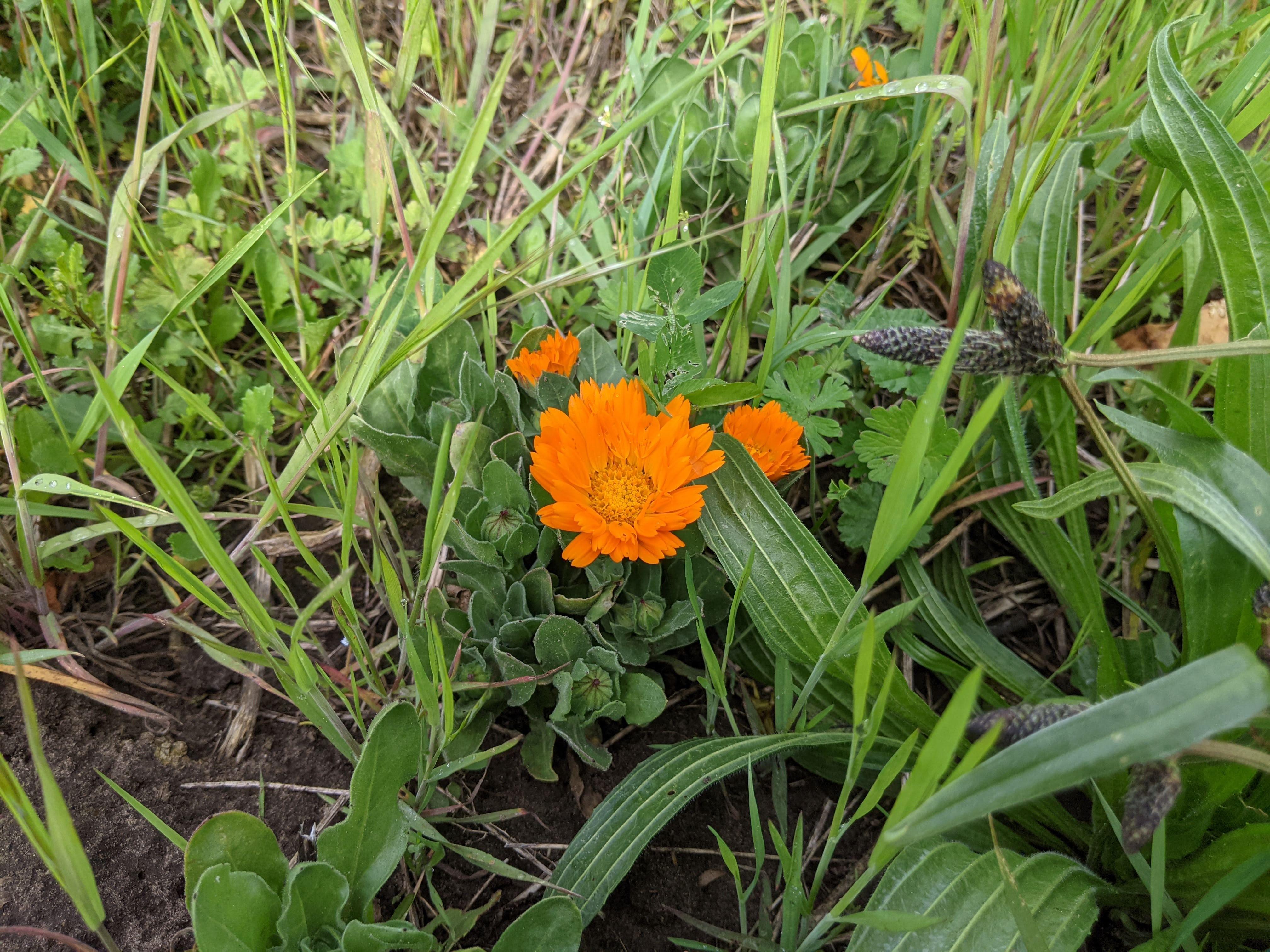 Garten-Ringelblume im BienenBuffet am 15.05.2021