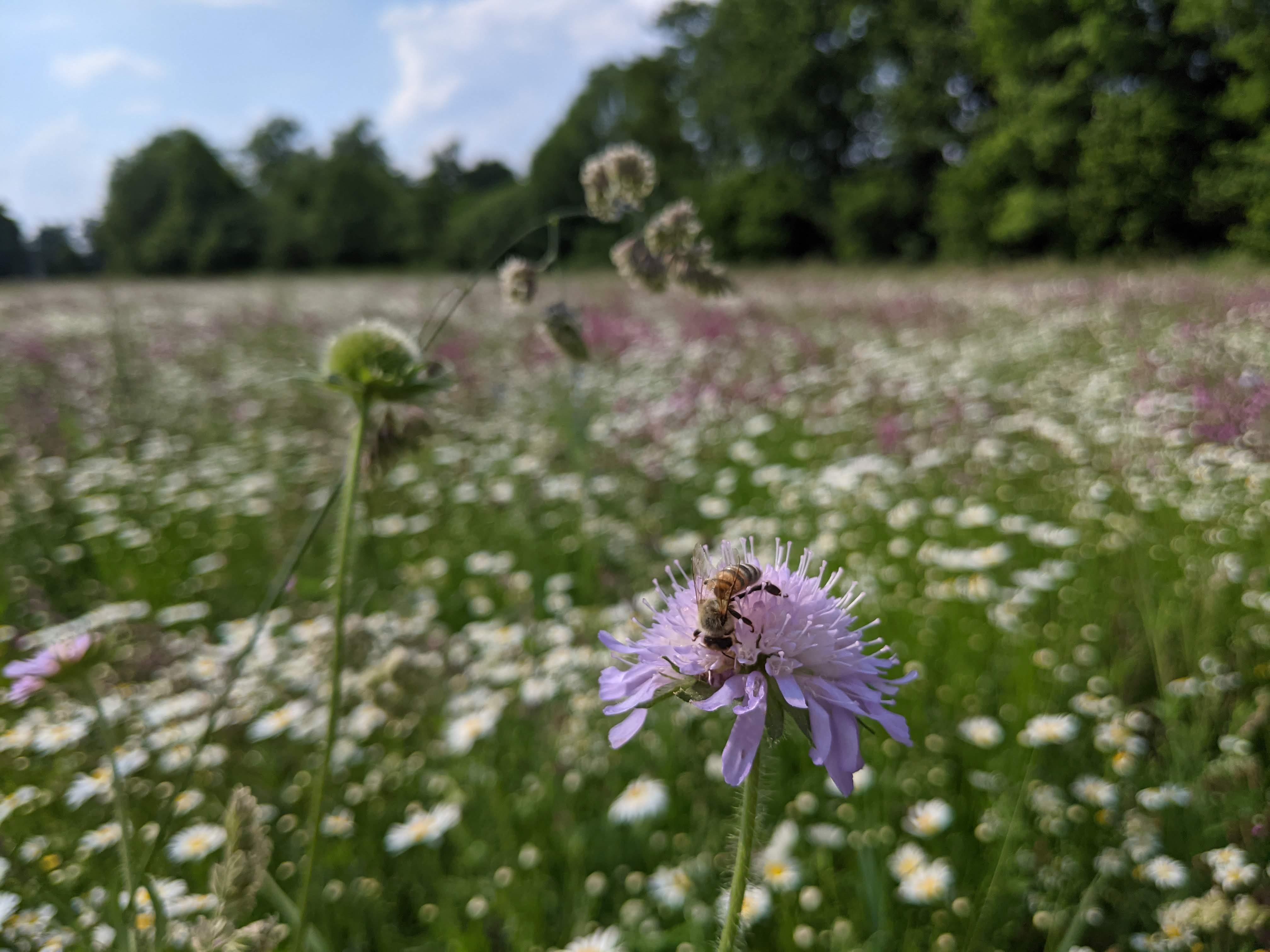 Biene auf Witwenblume im BienenBuffet